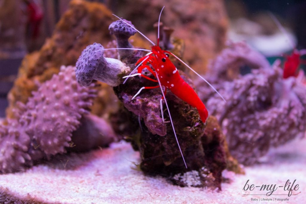 sea-life-berlin-helden-der-meere-krebs-red